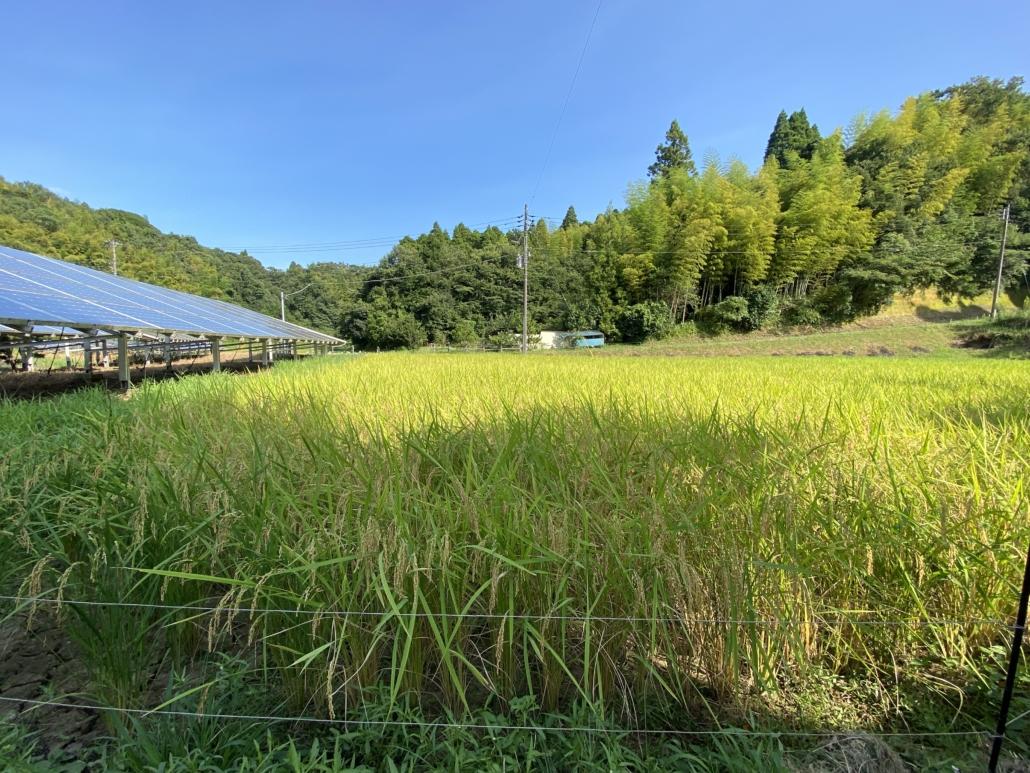 Rice fields in Nagara-cho, Chiba prefecture