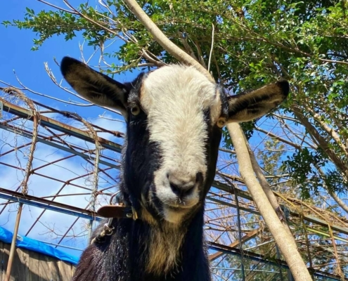 Yugawara goat featured